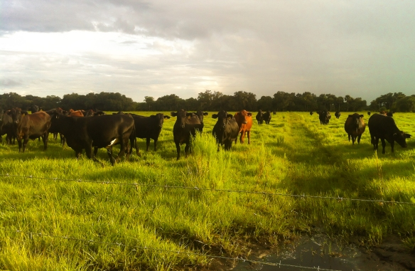 Florida Cattle at Sunset