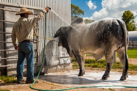 Brahman Bull Wash