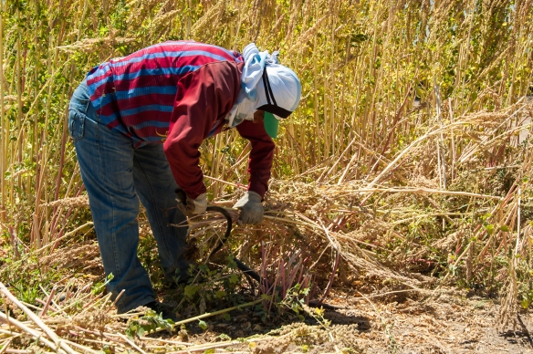 Harvesting Quinoa by Hand