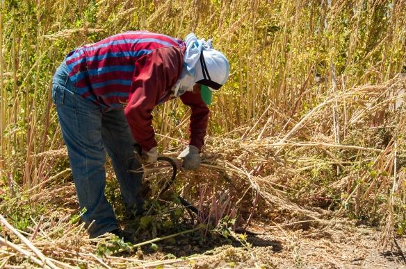 Harvesting Quinoa by Hand