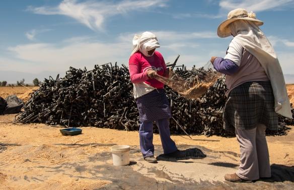 Women Threshing Quinoa by Hand