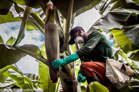 Banana cultivation.