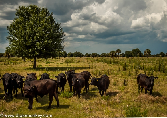 Florida Black Angus 2