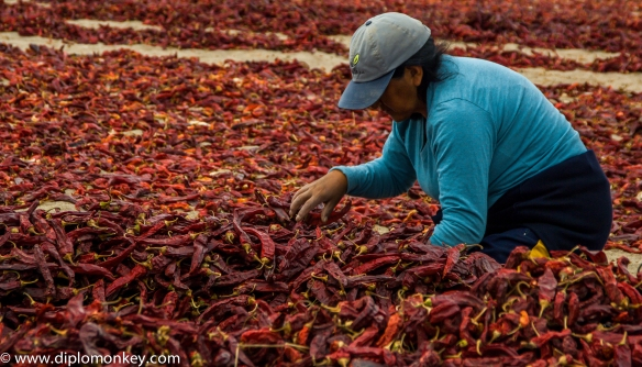Woman sorting paprika by color and size.