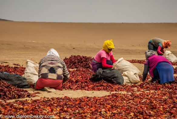 Women sorting paprika in the desert.