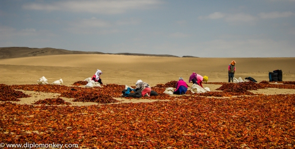 Producing Paprika in the Desert.